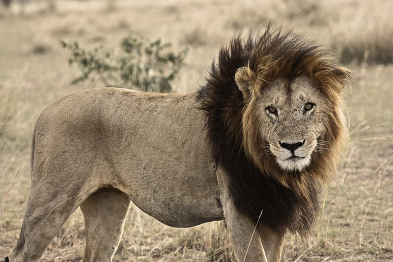 Photography of Lion