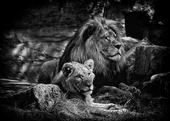 Grayscale photo of two lions
