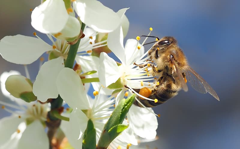 Honey bee perching on white petaled flower in close-up photography