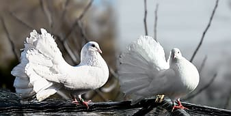Two white fantail pigeons on gray branch
