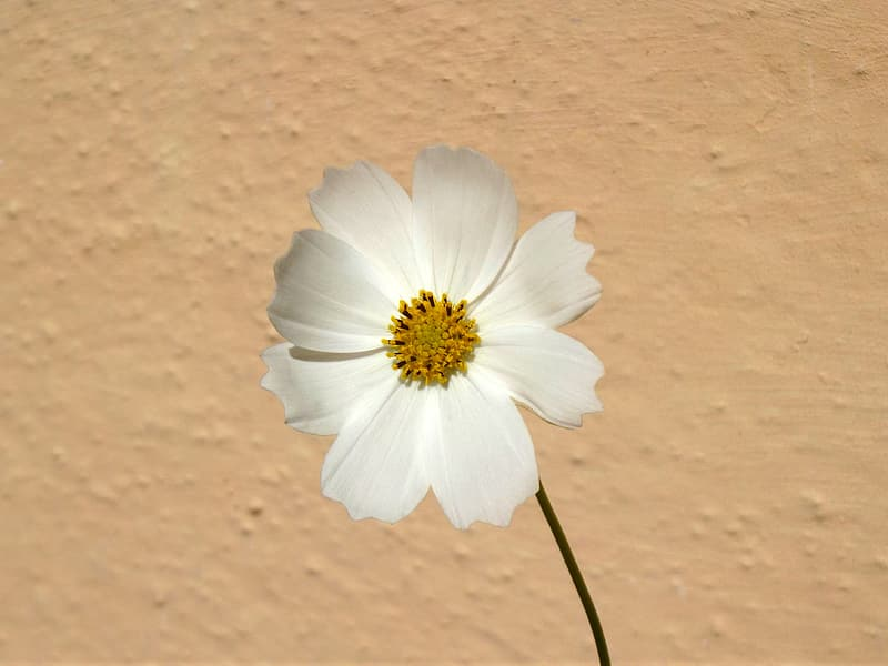 Macro photography of white cosmos flower