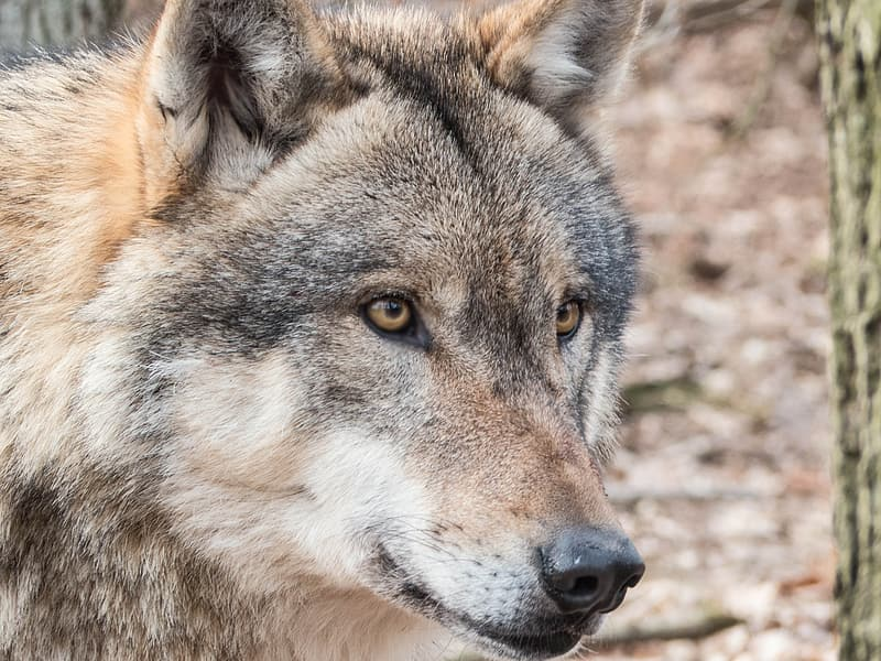 Closeup photo of brown wolf