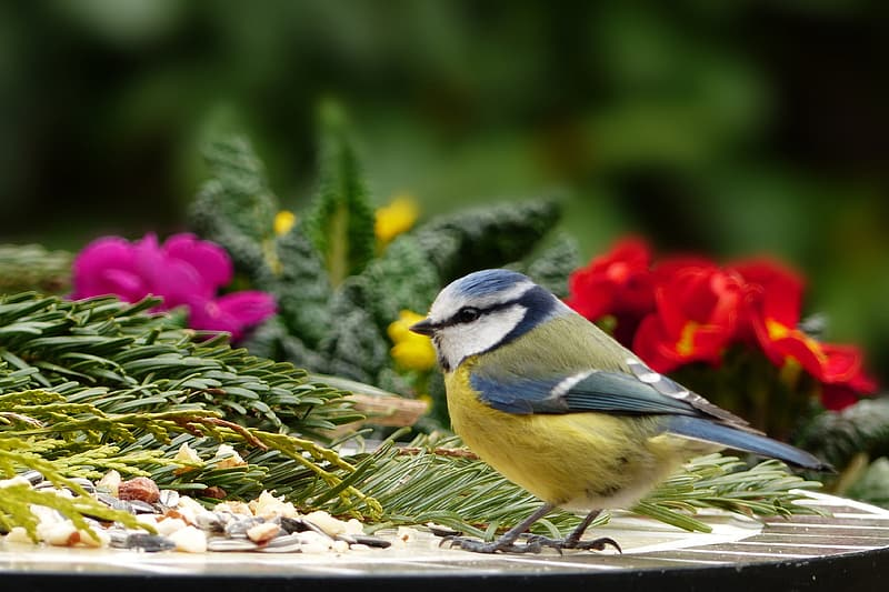 Yellow, blue, and white bird perched on table