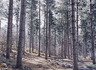 Conifer Forest, Forest