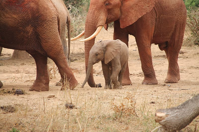 Four elephant walking on brown grass field during daytime