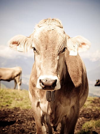 Closeup photo of brown cattle