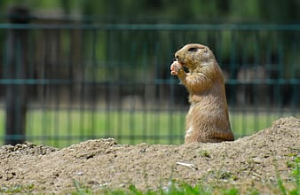 Brown rodent on brown soil