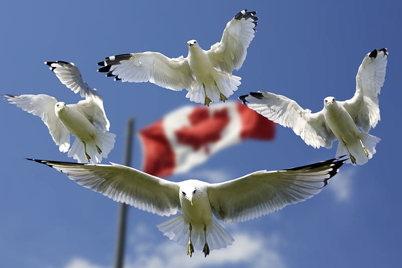 Four flying white birds with flag of Canada in background