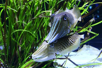 Two blue-and-white fishes