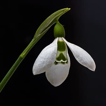 White snowdrop flower in closeup photography