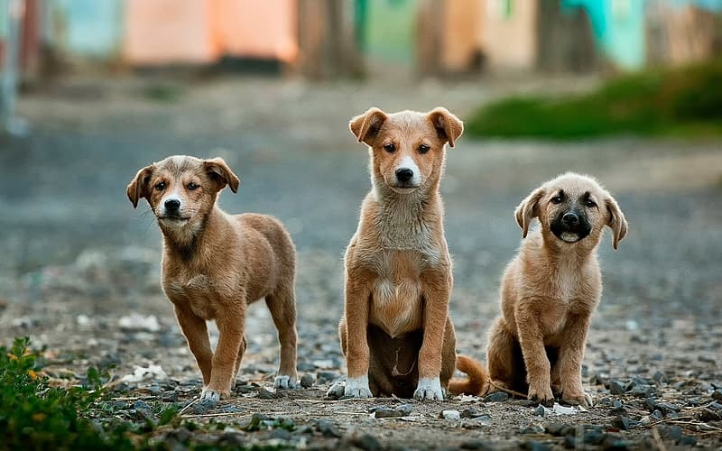Three short-coated brown puppies on street during daytime