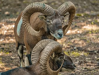 Black and brown ram on green grass during daytime