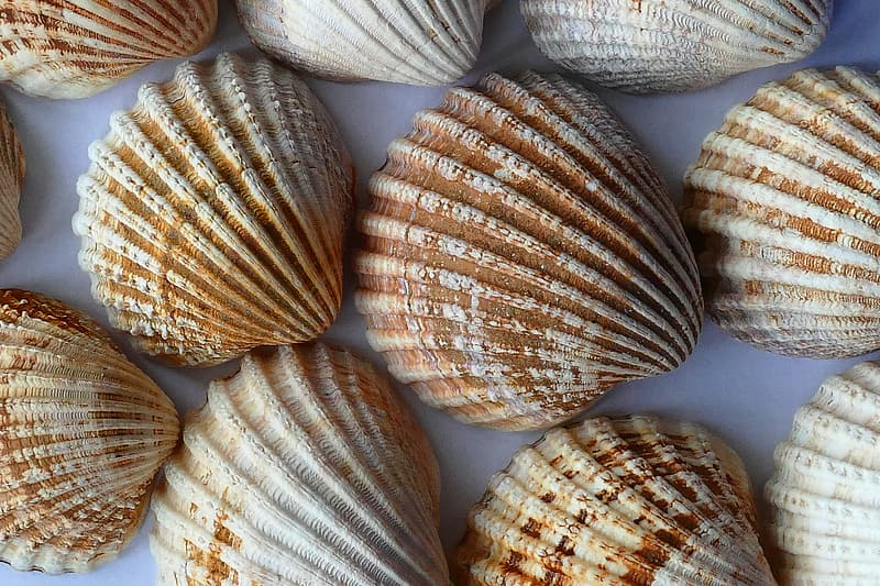 Clam shells on blue surface