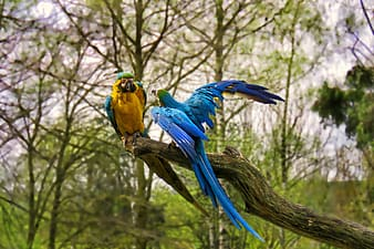 Two yellow and blue parrots on tree branch
