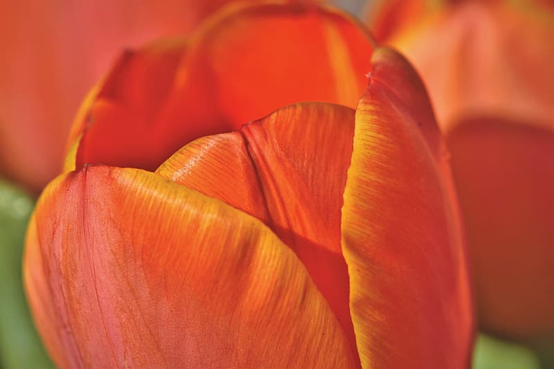 Red tulip in close up photography