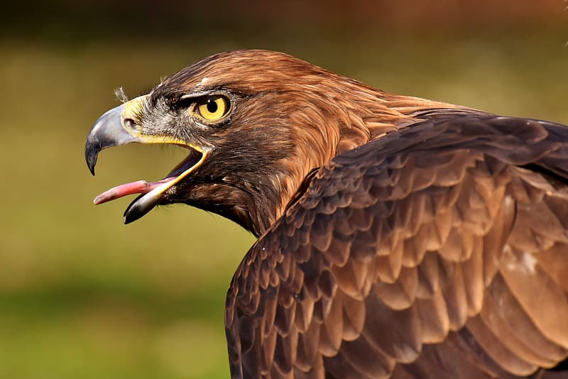 Selective focus photography of golden eagle