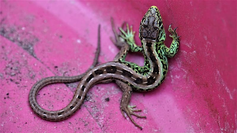 Black and brown lizard on pink surface