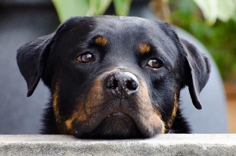 Mahogany Rottweiler face shown