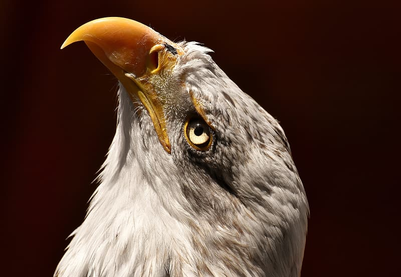 Closeup photo of bald eagle
