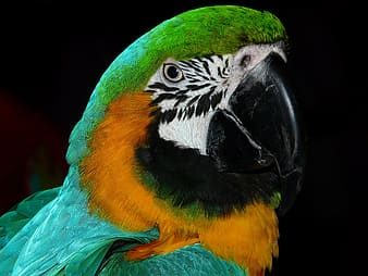 Teal macaw with black background