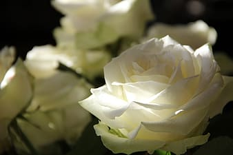 Focus photography of white rose