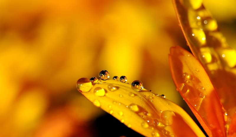 Macro photography of yellow daisy flower with water droplets