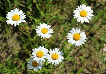 Close-up photography of daisy flowers