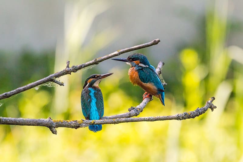 Two blue-and-brown birds on gray tree branch