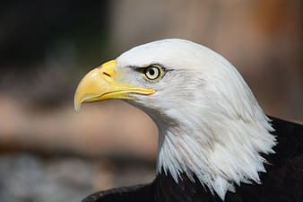White and black bald eagle