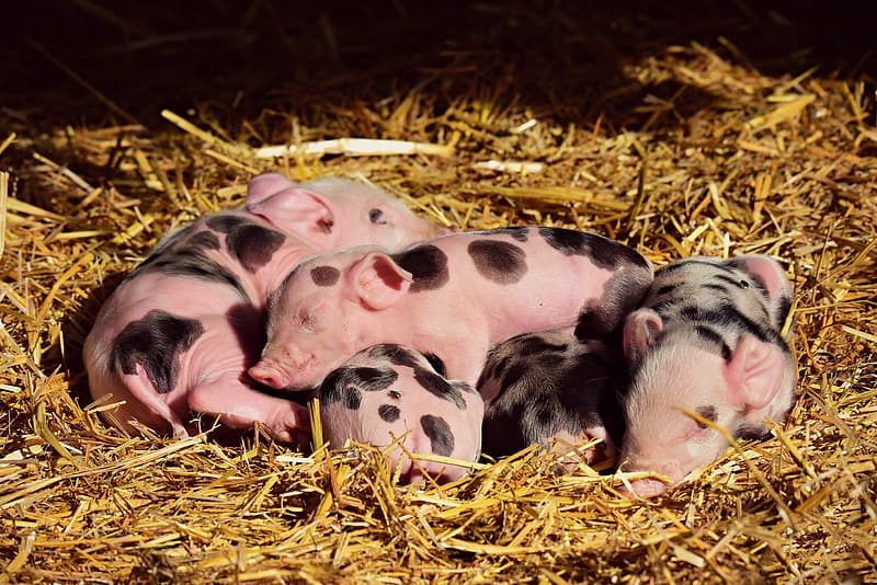 White and black pigs on brown hay
