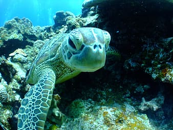 Green sea turtle swimming on sea
