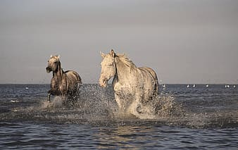 Two white horse on body of water