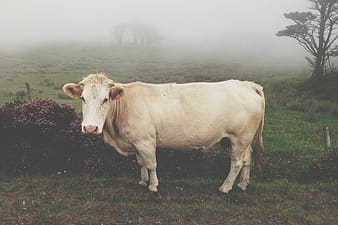 White cattle on green grass field during daytime