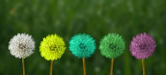 Shallow focus photography of multicolored dandelions