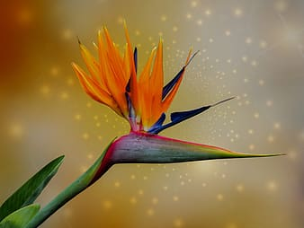 Orange and green bird-of-paradise flower in close-up photography
