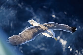 Flying grey and white bird wallpaper