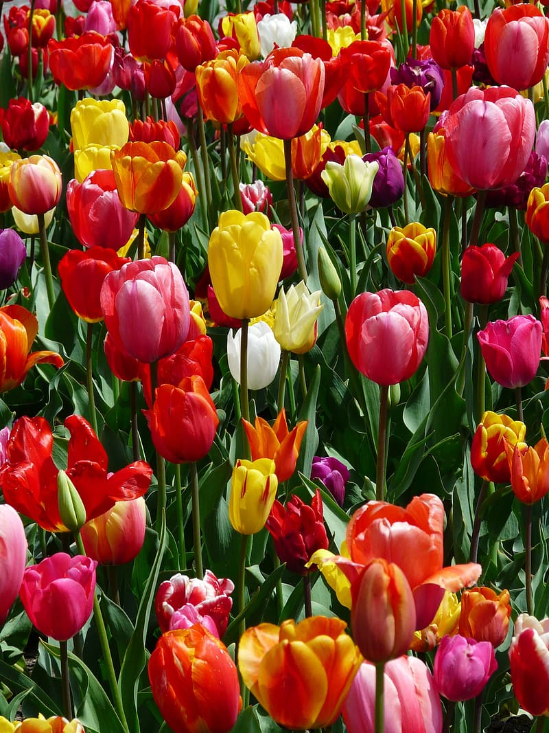 Red yellow and pink tulips