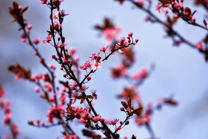 Selective focus of pink petaled flowers