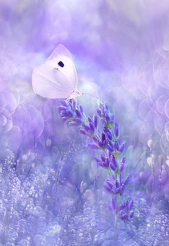 White cabbage butterfly on purple flowers