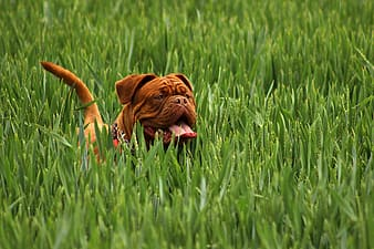 Adult brown English bulldog on green rice field during daytime