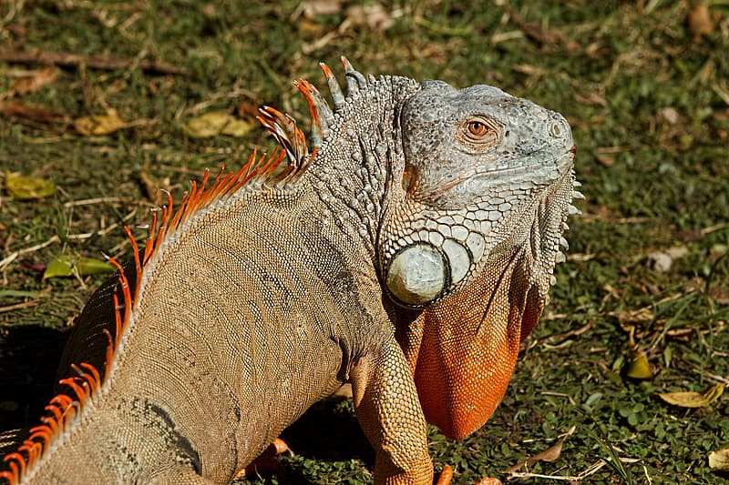 Brown and white iguana on grass field