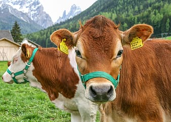 Two brown-and-white cows near house during daytime
