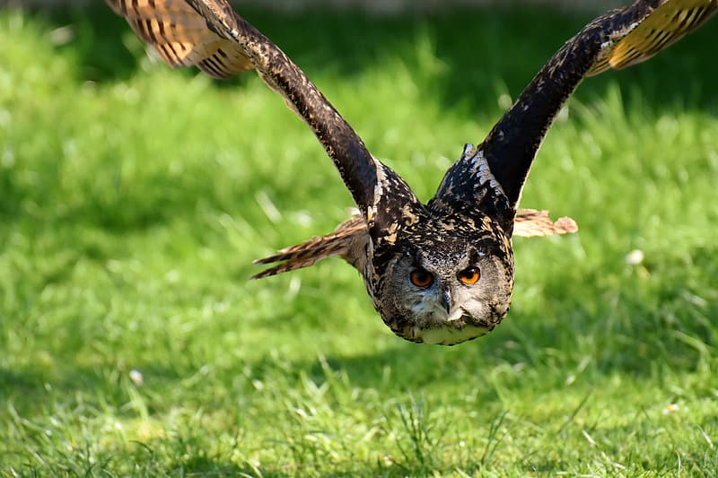 Brown owl flying during daytime