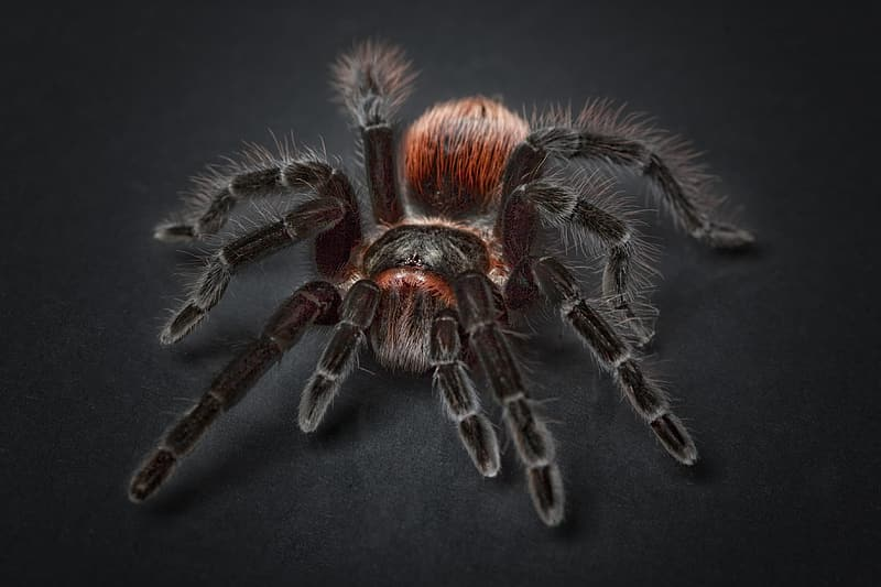 Black and red tarantula in closeup photography