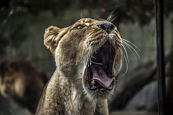 Close-up photo of brown lioness at daytime