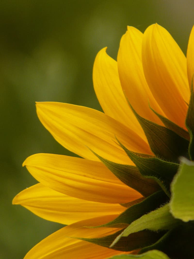 Selective focus photo of common sunflower