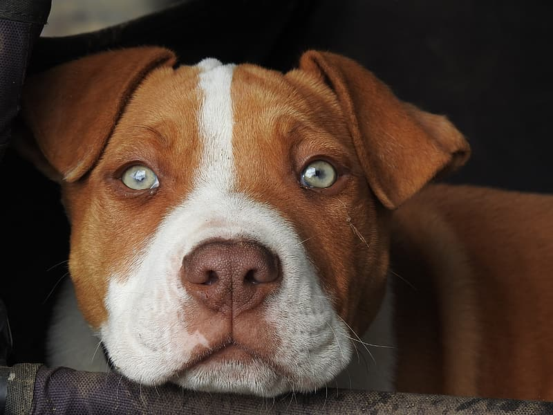 Brown and white American pit bull terrier puppy close-up photography