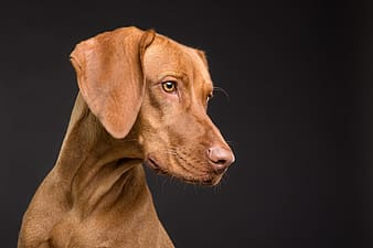 Closeup photography of adult mahogany vizsla
