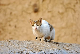 White and brown cat