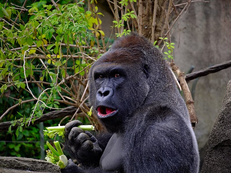 Gorilla eating vegetable